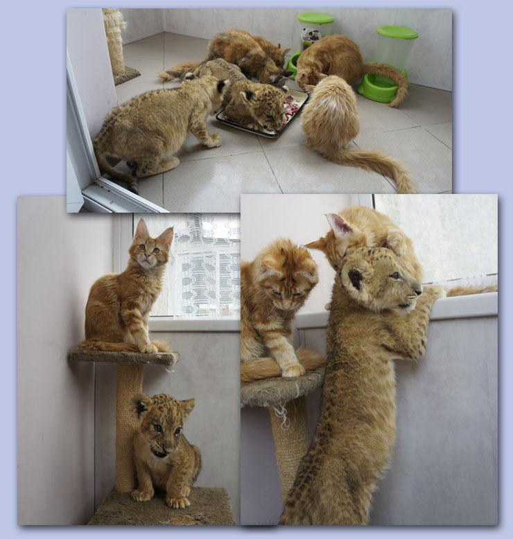 Львы и кошки
